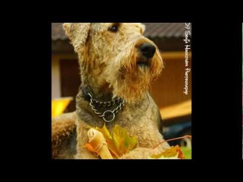 Tim McGraw - My Old Friend - Rolf - Beautiful Airedale