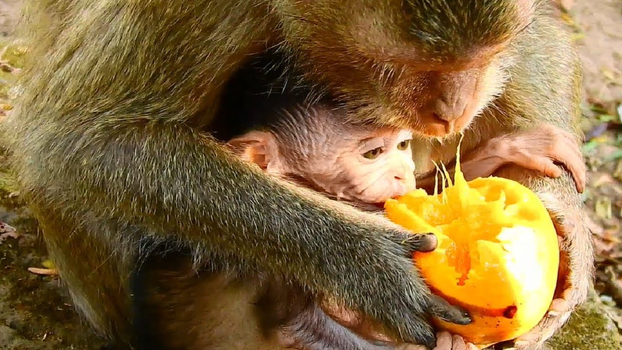 de95a64b3c7 Mother's Babies monkey teach her babies how to eat mango fruit she eat look  delicious fruit.