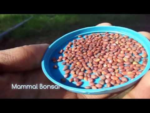 How to Grow Radish from seeds with Update / मूली कैसे उगाए / Gardening Tips // Mammal Bonsai - 동영상