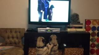 Video Dude and Walter watch the dog show download MP3, 3GP, MP4, WEBM, AVI, FLV Juli 2018
