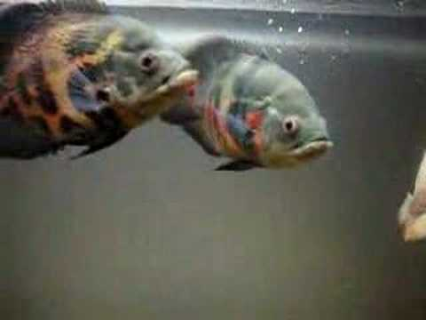 My Oscar Fishes - Tiger & Al..