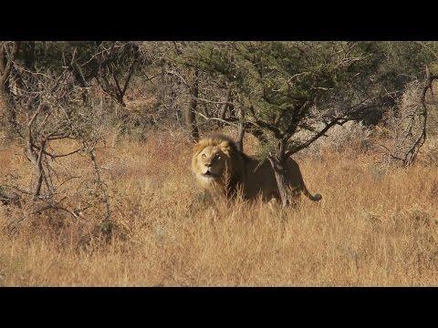 Lion Attack.. Man Eater. Best Ever