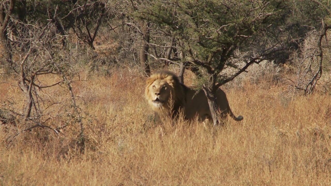 Lion Attack   Man Eater  best ever