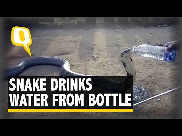 The Quint: Parched Snake Drinks Water Right out of the Bottle