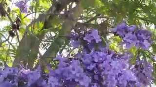 Villa Norte Park, Tierra Santa ~ Flowering Jacaranda Tree