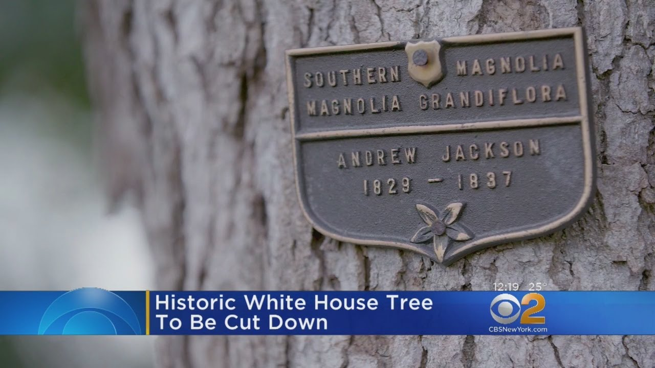 Oldest Tree On White House Lawn To Be Cut Down Youtube
