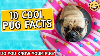 Pug Facts  Pugs 101   Facts About Pugs