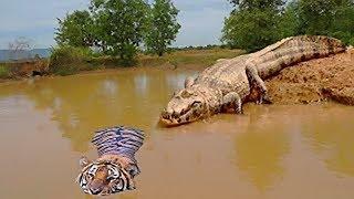 信じられない! 神の森の戦い王沼、トラは水中ワニの獲物になります.