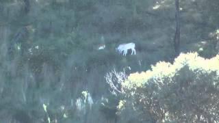 Long range hunting Australia DVD sambar fallow deer 7mm rem mag shooting