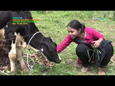 Our Cows in Gokulam, ISKCON Malaysia Farm Janda Baik-150112