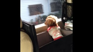 Miniature Dachshund モモはとにかく車に乗るのが大好きです(^^) 家族で...