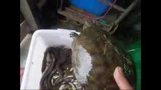 野鱸鰻...2011開國以來.開胡了!5斤5兩...一斤的有5隻