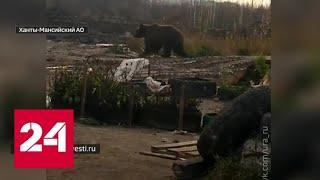 Разгуливавшего по Нижневартовску медведя вернули в тайгу - Россия 24