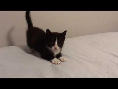 Adventure Kittens! Tuxedo kittens playing & running #kittenrampage
