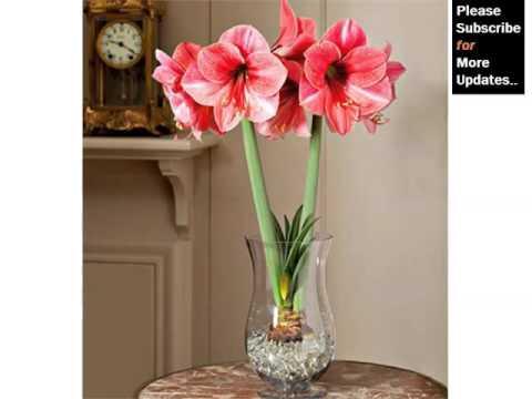 White Amaryllis Flowers Beautiful Pictures Romance