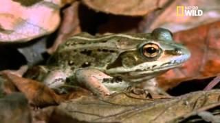 Un incroyable phénomène s'opère sur les grenouilles