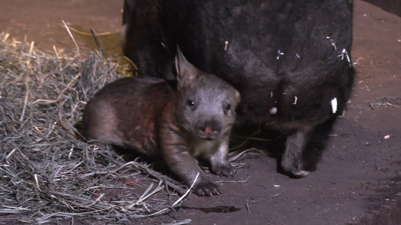 raw-chicago-zoo-shows-off-new-baby-wombat