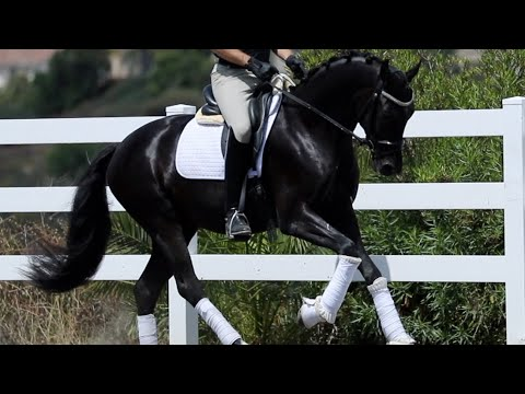 AMAZING ALL BLACK DRESSAGE HORSE!!!