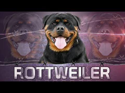 THE ROTTWEILER GERMAN DOG BREED