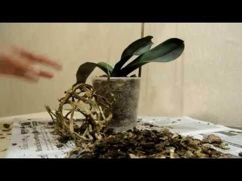 Пересадка орхидеи Моя залитая водой орхидея Transplanting orchids