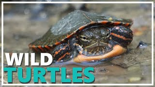 Should You Keep Wild Turtles as Pets?
