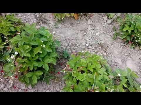 Урожай земляники садовой Барон Солемахер  и Барон Рюген.