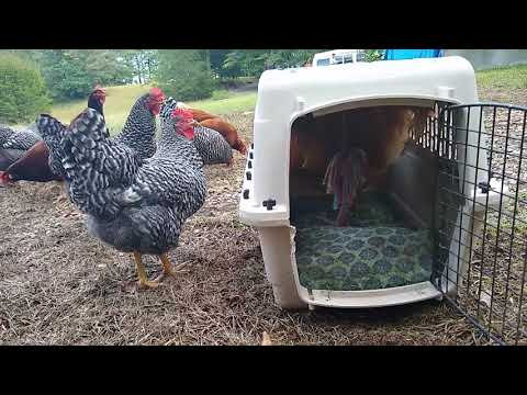 Introducing A NEW ROOSTER To The Flock...Johnny CASH Ain't Havin' IT!