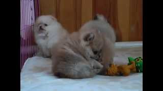 MAQ05119 купить щенка  шпица в питомнике