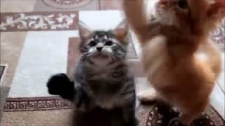 Котята Мейн-Кун продаются