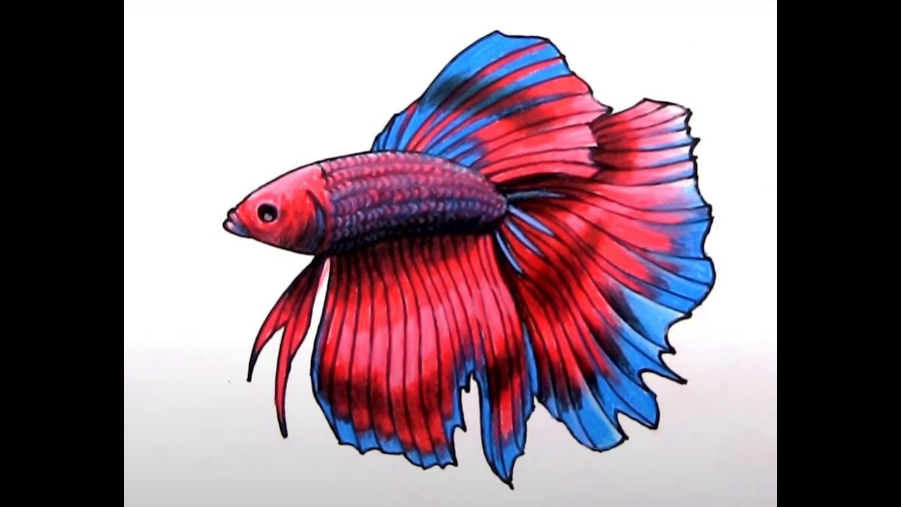 How To Draw A Realistic Betta Fish (Siamese Fighting Fish ...