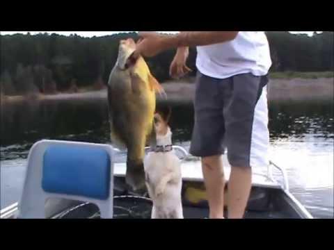 YELLOW BELLY FISHING BLOWERING DAM