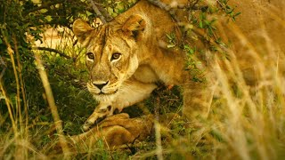 Kali The Lioness Finds Her Dead Cub   Serengeti II   BBC Earth