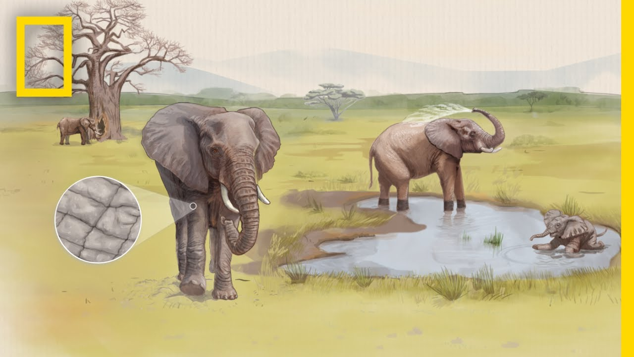 See How Cracked Skin Helps Elephants Stay Cool | Decoder