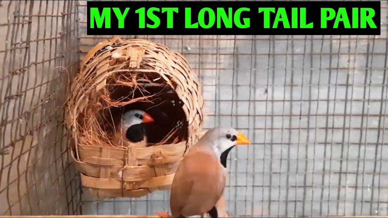 My First Long Tail Pair From Pankaj Vai
