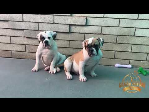 American Bulldogs Puppies For Sale