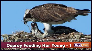 Osprey Feeding Her Young - 1