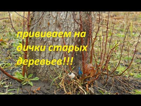 Вопрос: Какое самое любимое дерево сойки, что о нём известно?
