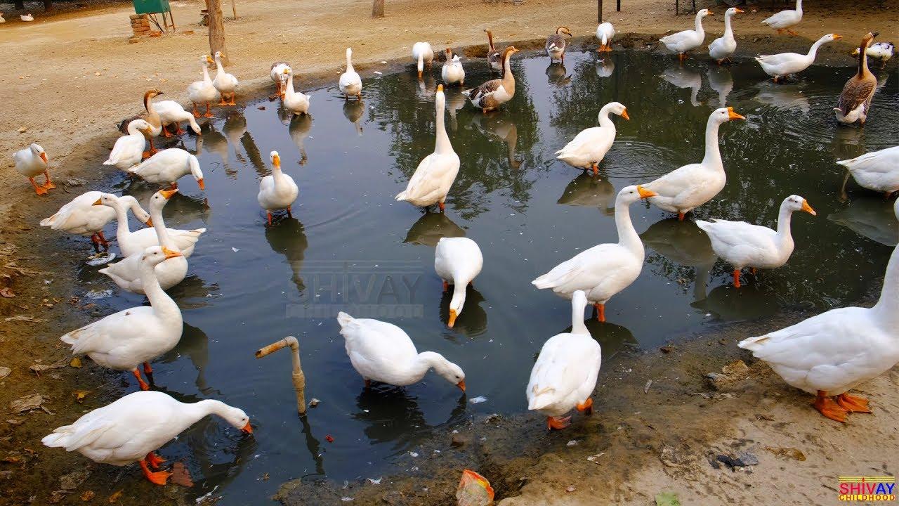 Download Duck and Goose video   Animals Video   Birds