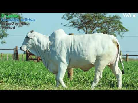 LOTE 25 - REMP 588  - 3º Leilão Genética Aditiva Expogenética 2020