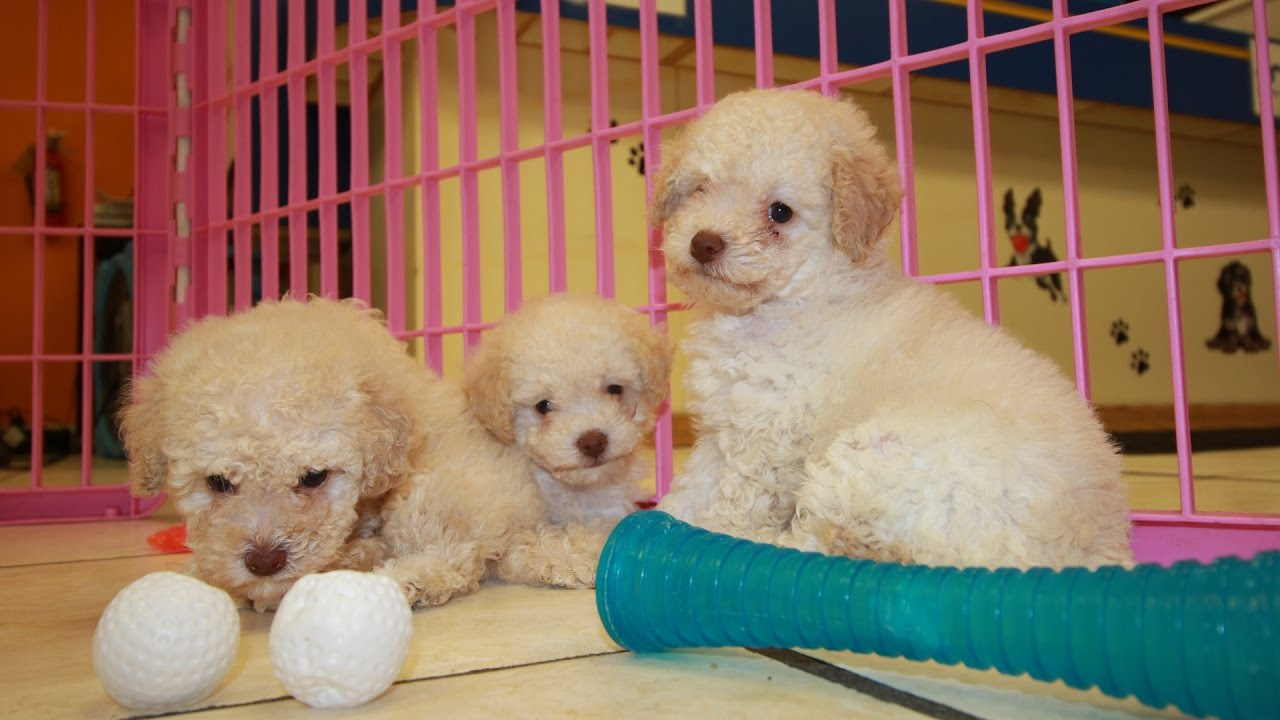 Apricot Red Toy Poodle Puppies For Sale Georgia Local