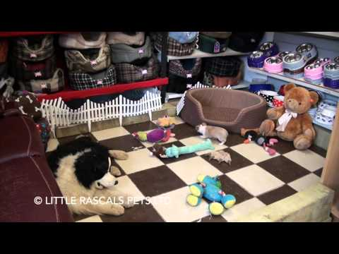 Little Rascals Uk breeders New litter of tan/white Chihuahua boy - Puppies for Sale 2016