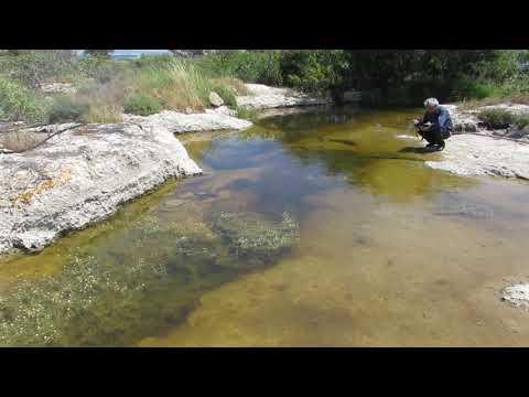 Pond Water crowfoot -  Ranunculus peltatus L - Cyprus