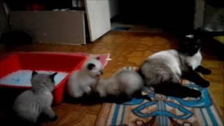 Тайские-сиамские котятки