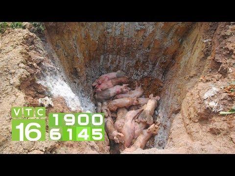 Dịch tả lợn Châu Phi: Nông dân tự tiêu hủy lợn chết | VTC16