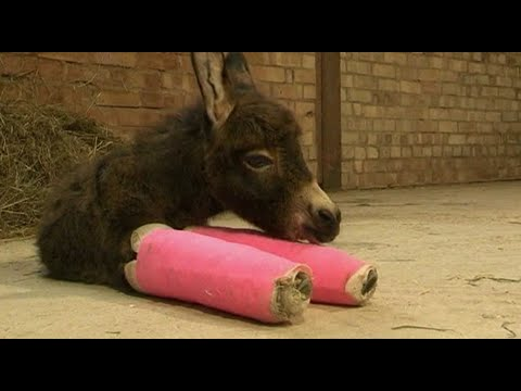 Baby Donkey has Legs in Plaster Casts: So Cute!