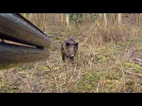 Un sanglier attaque un chasseur youtube - Comment cuisiner une cuisse de sanglier ...