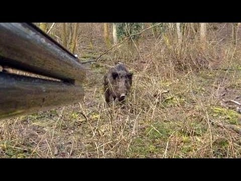 Un sanglier attaque un chasseur !! - YouTube