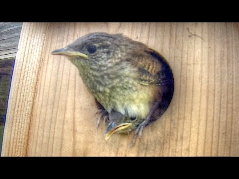 Cute Baby Wrens Leave The Nest Box