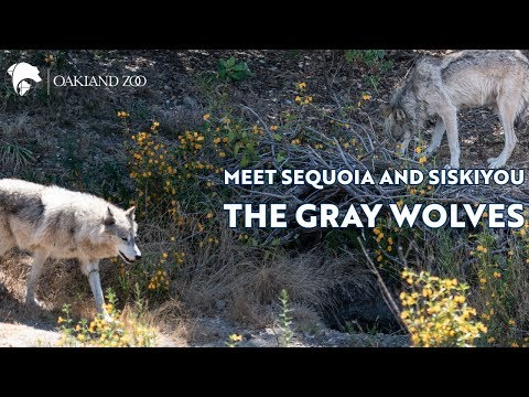 Gray Wolves At Oakland Zoo's New California Trail