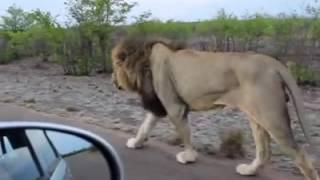 jungle ka raja sher the lion